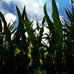 Indiana corn (Photo: CKirgiss)